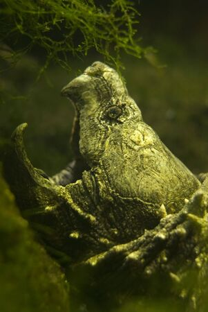 Imagen submarina de tortuga Caimán  Foto de archivo - 5495504