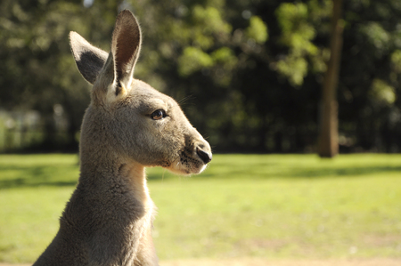 Closeup shot of Australia kangaroo head and face in grassland background