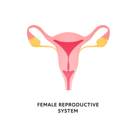 Human organ collection. Vector flat modern icon color illustration. Female reproductive system anatomy for gynecology. Vagina, cervix, uterus, fallopian tube.