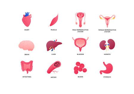 Human organ icon collection. Vector flat color anatomical illustration. Nervous, cardivascular system, reproductive, digestive, internal organs. Design element for medicine, biology, education. Vectores