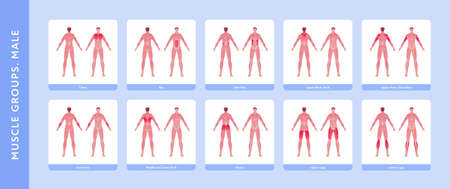 Human muscle group and body anatomy. Vector flat color illustration set. Full length anatomic male model with highlight group. Front and back view. Design element for medicine, education and sport.
