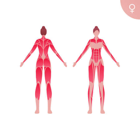Human muscle body anatomy. Vector flat color illustration. Full length anatomic female character. Woman front and back skinless view. Design element for medicine, education and sport.