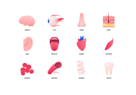 Human organ icon collection. Vector flat color anatomical illustration. Nervous, cardivascular system, bones and taste organ. Design element for medicine, biology, education. Vectores