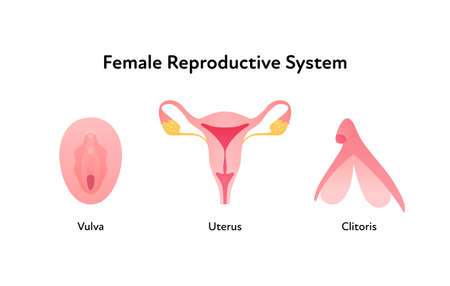 Reproductive system infographic poster. Vector flat medical illustration. Female vulva, clitoris and uterus anatomical scheme isolated on white background. Design for healthcare, gynecology.