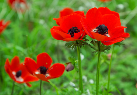 Beautiful red anemones on a field