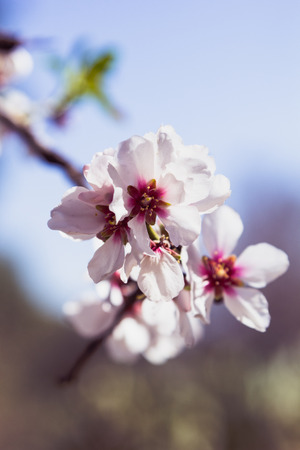 Blossoming almond tree flowers in springtime, selective focus photo