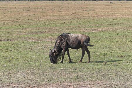 Een wildebeest weiden in Afrika
