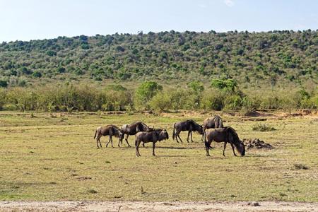 Heard of wildebeast grazing in Africa