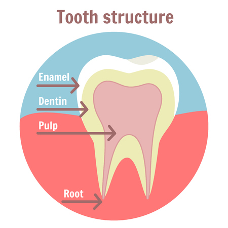 Dental tooth structure. Medical diagram of the structure of human tooth. Dentist clean teeth symbol. Medicine dental structure sign Illustration
