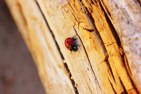 Little ladybird beetle on the pine log or wood. Close-up red insect on yellow log with shakes crackles