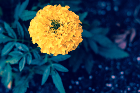 Dark close up image of yellow marigold flower. Contrast orange Tagetes papposa blossom on deep blue leaves background