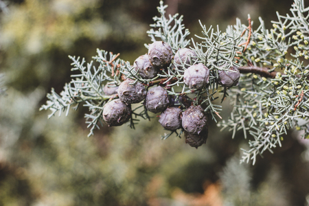 Tender Christmas background of light green Arizona cypress tree branches with small pale purple cones. Wallpaper of evergreen coniferous trees needles with focused and blurred parts and place for text