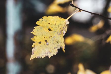 Alone damaged yellow birch leaf on blur forest background. One orange elm foliage with brown stains Foto de archivo