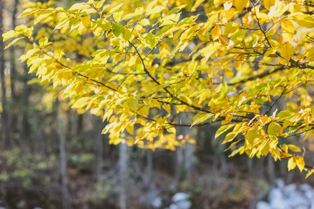 Bright autumn background with yellow leaves mess of elm or birch in sun beams on gray forest background. Sunny orange greenery photo