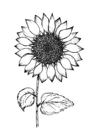 Dibujo de pluma de tinta de contorno negro retro de girasol. Ilustración dibujada a mano de la hermosa flor del sol aislada sobre fondo blanco para el diseño de patrones botánicos, decoración de tarjetas de felicitación