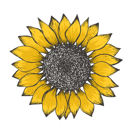 Bright sketch of colorful yellow sunflower blossom with black seeds. Hand drawn color illustration of sun flower isolated on white background for botanical pattern design, greeting card decoration