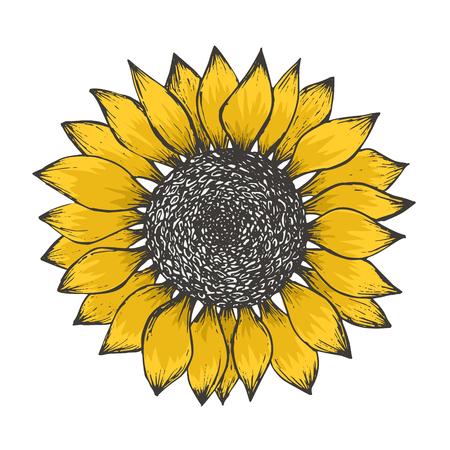 Schizzo luminoso del fiore di girasole giallo colorato con semi neri. Illustrazione a colori disegnata a mano del fiore del sole isolato su sfondo bianco per la progettazione di motivi botanici, decorazione di biglietti di auguri