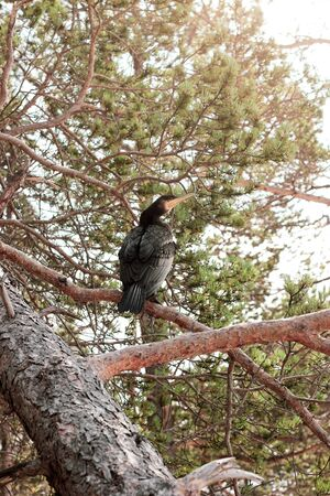 Black cormorant with yellow beak sitting on a pine branch near the lake Baikal. Phalacrocorax carbo standing on the coniferous tree 写真素材