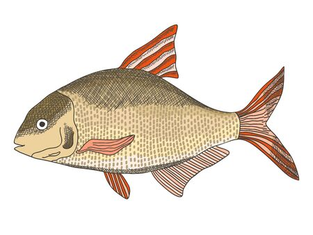 Sketch textured vector common freshwater bream illustration. Bronze carp or dorado fish in engraving style for educational apps, marine design, cooking recipe decor Vectores