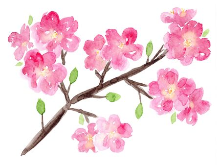 Bright watercolor sakura branch with pink flowers and small green leaves. Hand drawn watercolour cherry tree with blossoms for spring or summer greeting cards, invitations, pattern design
