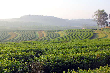 Beautiful fresh green tea plantation in the morning at chiangrai, Thailand Stock Photo