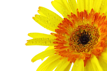 Close up Yellow gerbera flower on white background