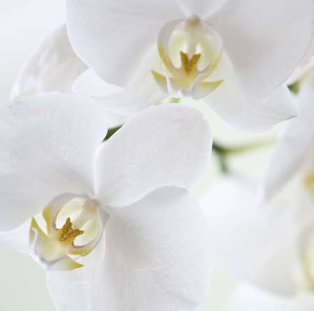 stalk flowers: A close-up picture of white orchid blossom