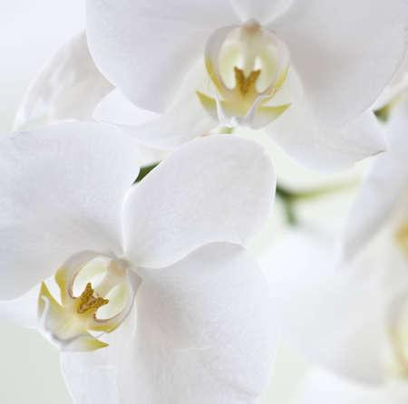 petites fleurs: Une photo en gros plan de la fleur d'orchid�e blanche
