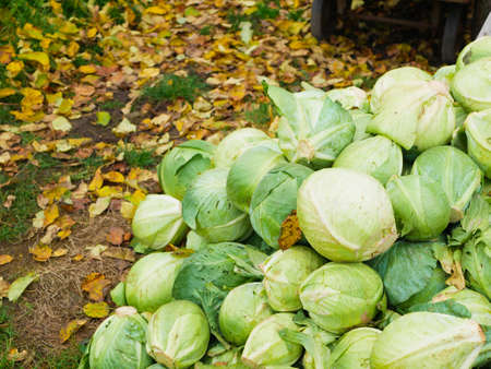Cabbage from a farm field lies on the ground against a background of autumn leaves. Cabbage background. Stok Fotoğraf