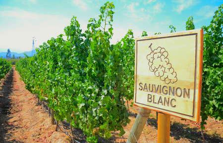 sauvignon blanc: Vineyard in Chile
