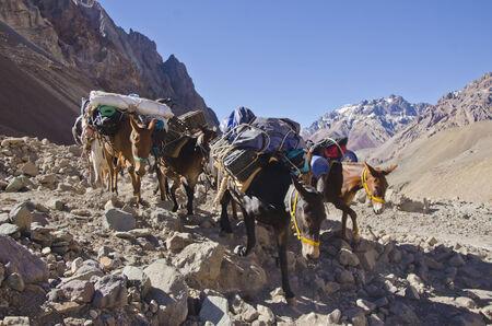 aconcagua: Mules  caravan  in the Andes Mountain near Aconcagua