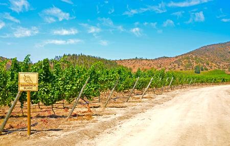 sauvignon blanc: Vineyard of Sauvignon Blanc in Chile Stock Photo