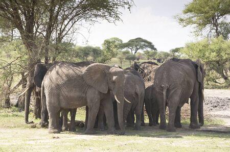 savannas: The herd of elephants in Natoinal Park Tarangire Tanzania Stock Photo