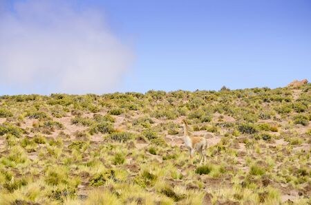 mimetism: Mimicry of guanaco in Altiplano Stock Photo