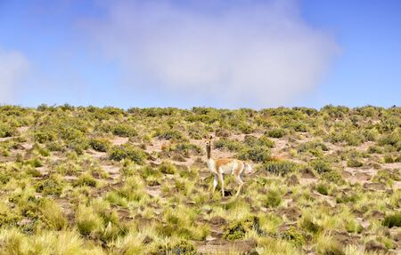 Mimicry of guanaco in Altiplano Stock Photo