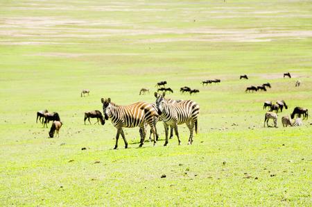 primaeval: Zebras in Natoinal Park Ngorongoro Tanzania