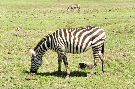 primaeval: Zebras and Wildebeests in Natoinal Park Ngorongoro Tanzania Stock Photo