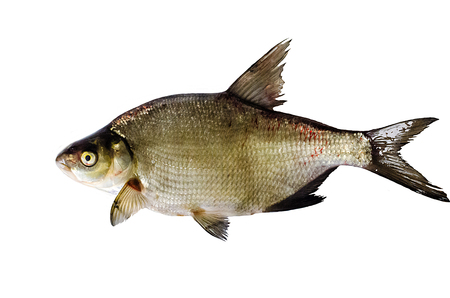 abramis: Bream on the isolated background