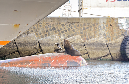 depth gauge: Family of Sea Lion At The Ships Bulb Keel in Valparaiso Stock Photo