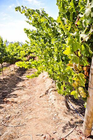 sauvignon: Sauvignon blanc in Chili vineyard