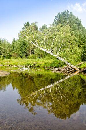 gauzy: Falling into the river birch