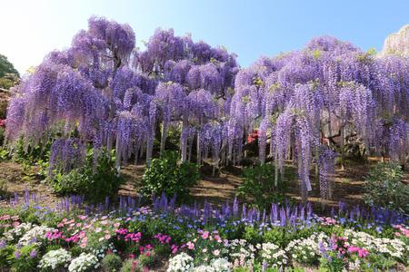Ashikaga flower park Wisterias 版權商用圖片