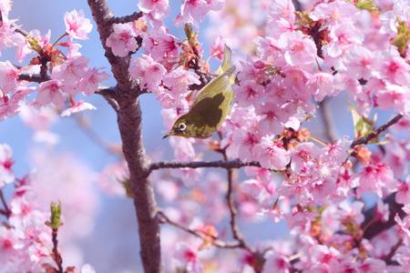 Cherry blossoms and Japanese white-eye Фото со стока - 98483846