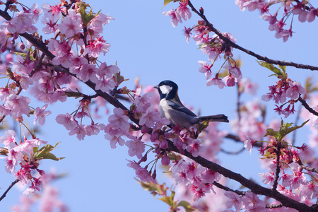 Tits with cherry blossoms