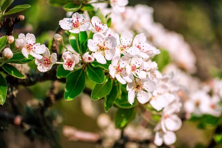Blooming apple tree in early spring in the garden