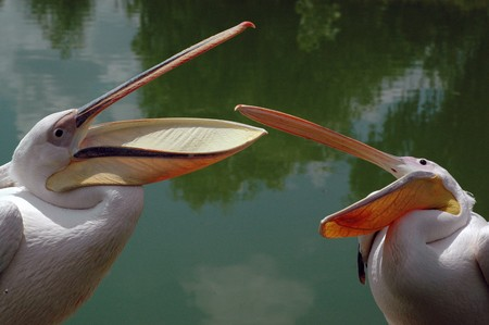 2 Gorgeous pink pelican in passionate dispute about territories photo