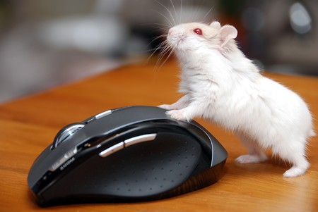 A red eye albino tailless hamster pushing wireless mouse Stock Photo - 3953448