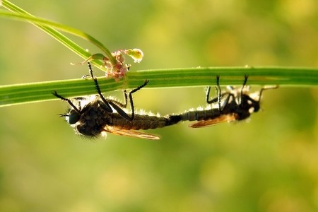lovemaking: 2 flies in intimate sexual relationship Stock Photo