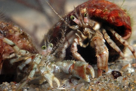 2 small crabs in fight underwater Stock Photo - 3962881