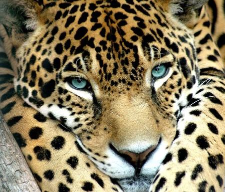 A blue eye calm jaguar waching for prey photo